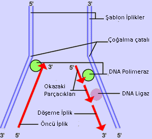 DNA replication.  In the first step, a portion of the double helix (blue) is unwound by a helicase. Next, a molecule of  (green) binds to one strand of the DNA. It moves along the strand, using it as a template for assembling a  (red) of  and reforming a double helix. Then a second DNA polymerase molecule (also green) is used to bind to the other template strand as the double helix opens. This molecule must synthesize discontinuous segments of polynucleotides (called ). Another enzyme,  (yellow), then stitches these together into the lagging strand.