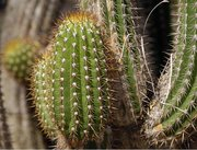 Some varieties of cactus have long, sharp spikes.
