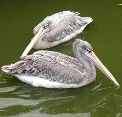 Pink-backed Pelican (Pelecanus rufescens).