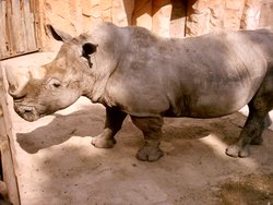Black Rhinoceros.