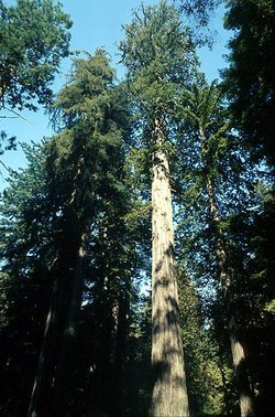 The  , the tallest tree species on earth